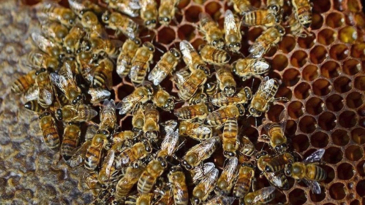Üniversiteye arı araştırmaları için yarım milyon dolar bağış